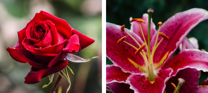rose red flower lilies