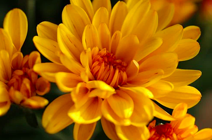 yellow chrysanthemums for all saints and souls day